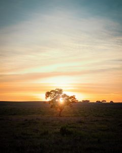 single tree on a sunset at the prairie of Alentejo Portugal
