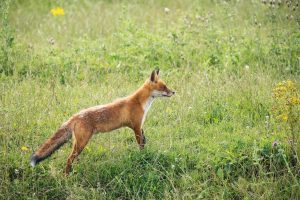 alert orange fox on a green field