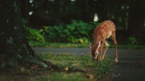 baby deer feeding of green grass