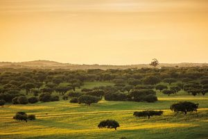 Sunset at a prairie with cork trees in Evora Portugal